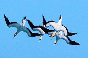 Gannets diving