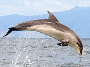 Bottlenose dolphin -Jumpin
