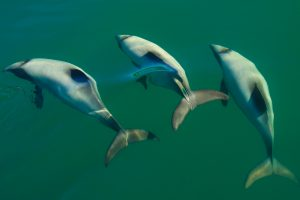 Hectors Dolphins times three swimming