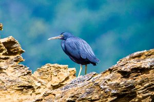 Grey Reef heron