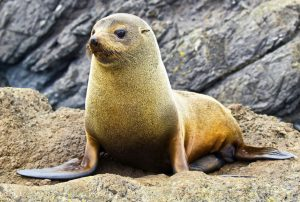 Fur Seal in Picton