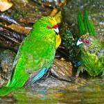Yellow Crowned kakariki in birdbath