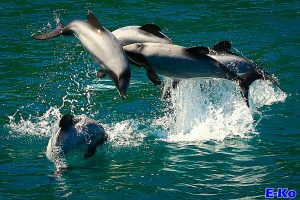 Hectors Dolphins jumping