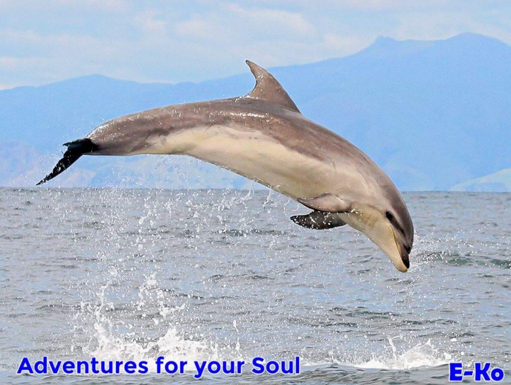Bottlenose dolphin -Jumping