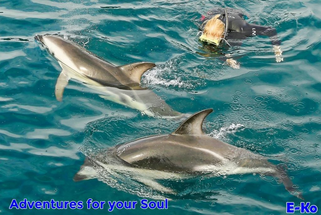 Dolphin Swimming with Dusky Dolphins