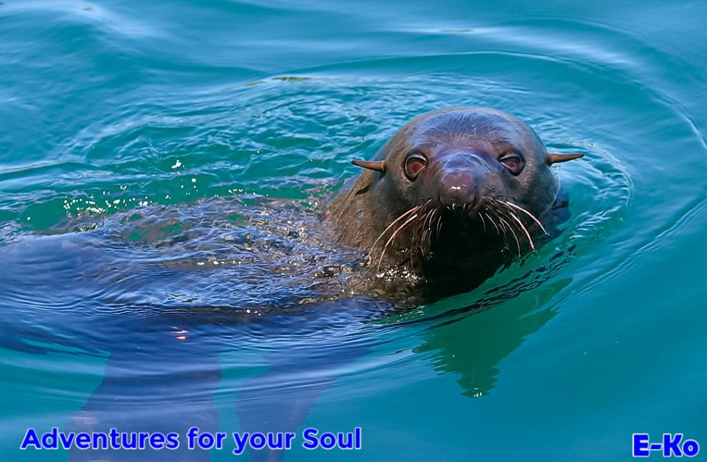 NZ Fur Seal in Water