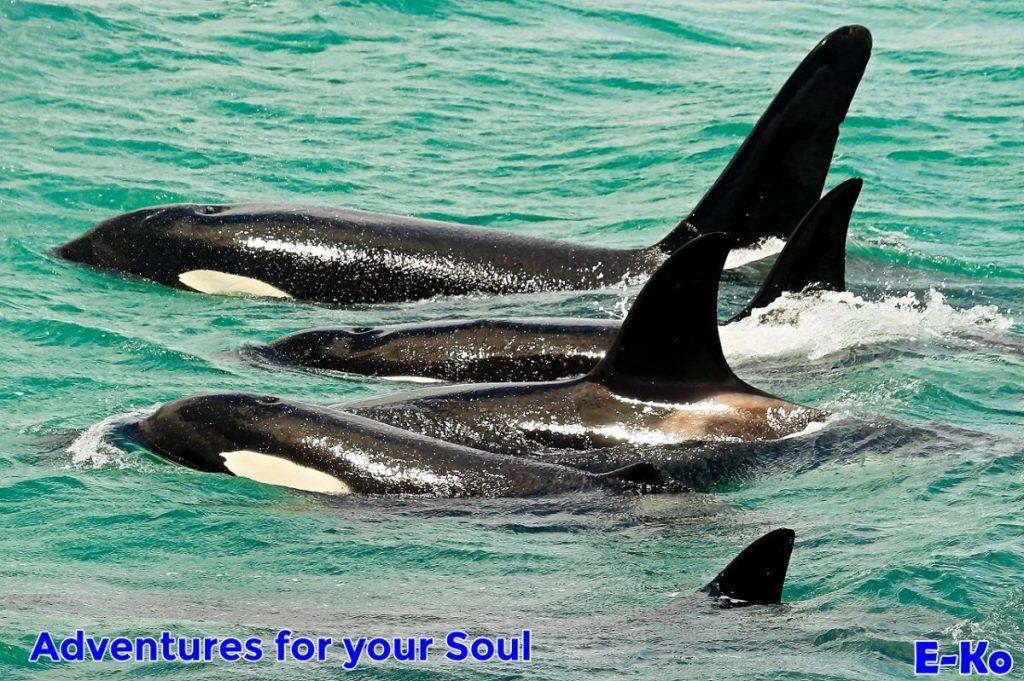 Orca Pod Swimming
