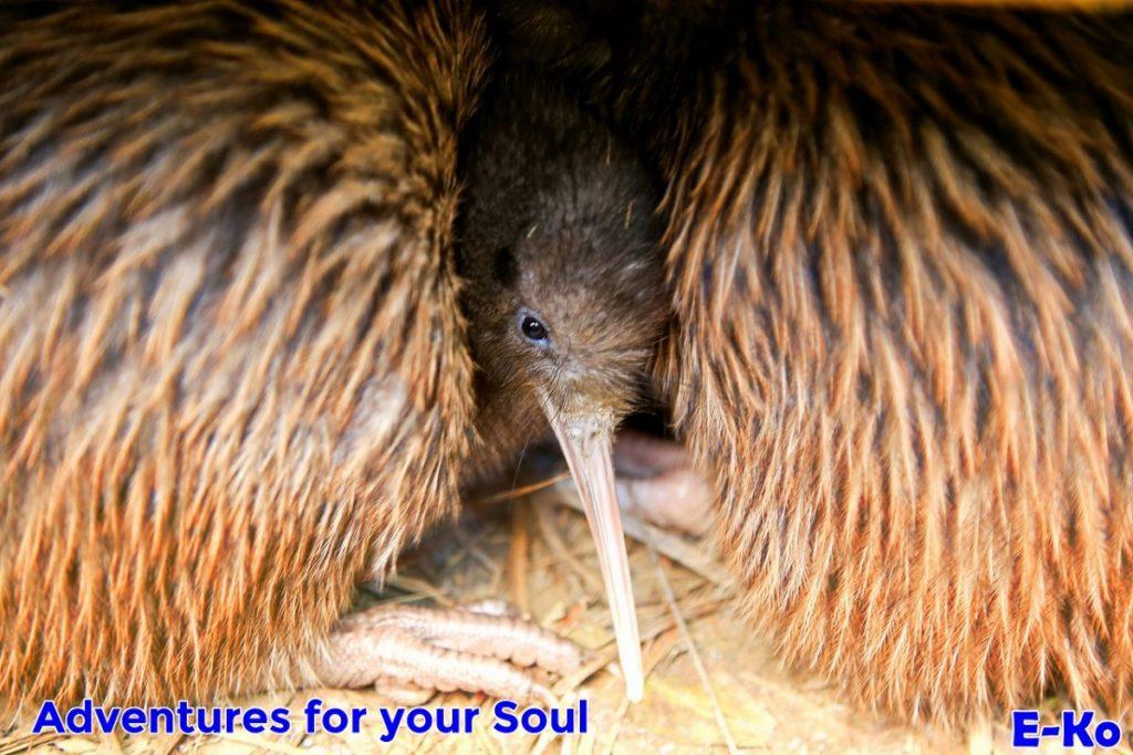 Rowi Kiwi close up