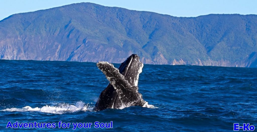 Whales in Cook strait