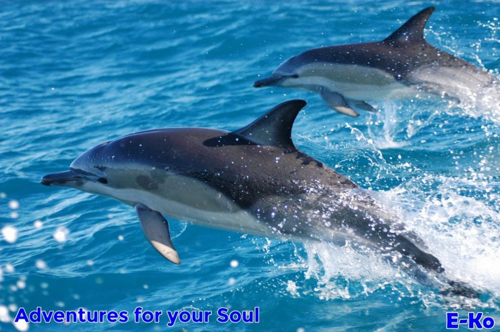 common dolphins travelling